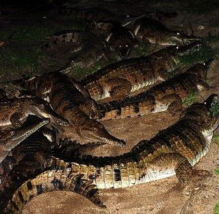 Dare to Try Hartley's Crocodile Adventures